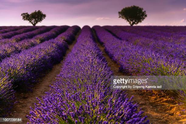 Close up of lavender rows in Valensole, France.