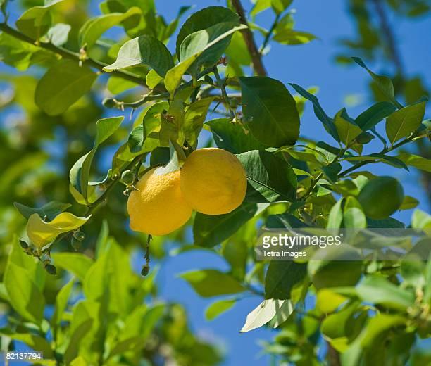 Close up of lemons on tree