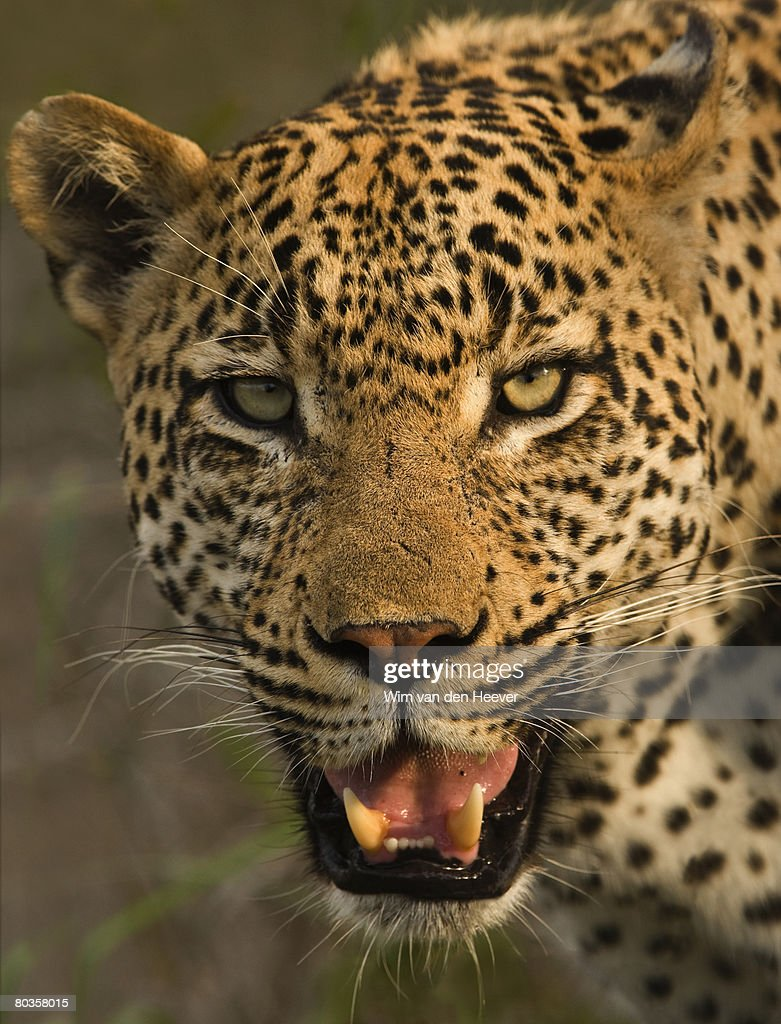 Close Up Of Leopard Greater Kruger National Park South ...