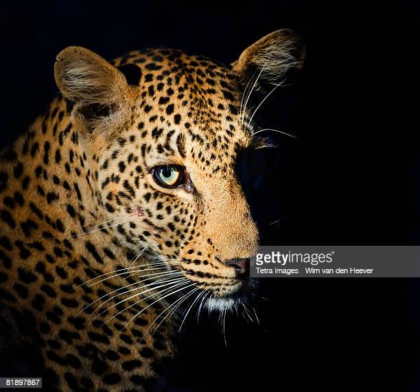 Close up of Leopard, Greater Kruger National Park, South Africa