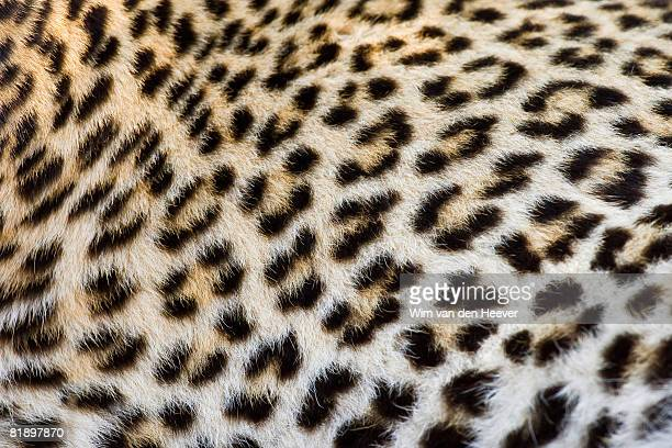 close up of leopard, greater kruger national park, south africa - leopard photos et images de collection