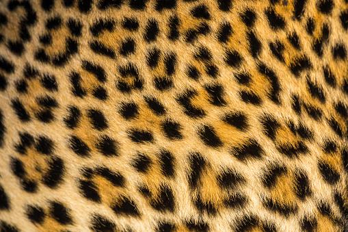 Close up of leopards (Panthera pardus) fur - gettyimageskorea