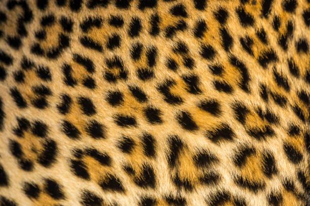 Close Up Leopards Panthera Pardus - Fine Art prints