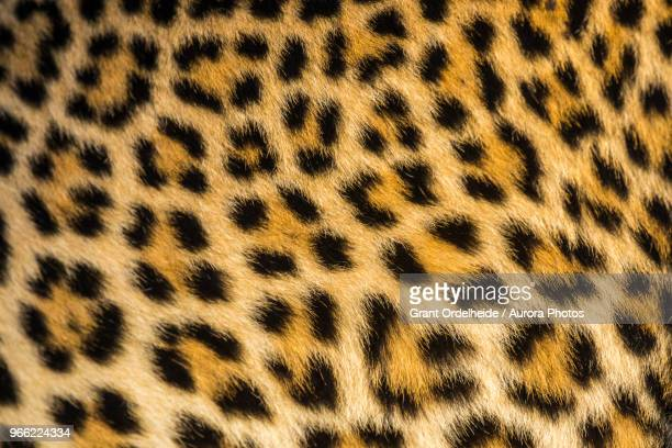 close up of leopards (panthera pardus) fur - leopard photos et images de collection