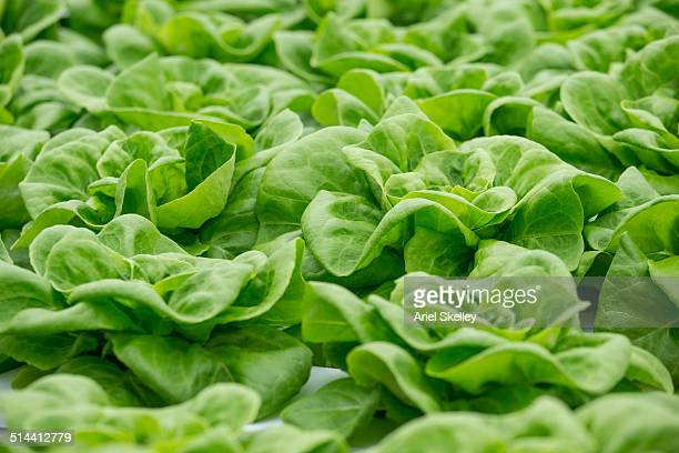 close up of lettuce - crop plant stock pictures, royalty-free photos & images