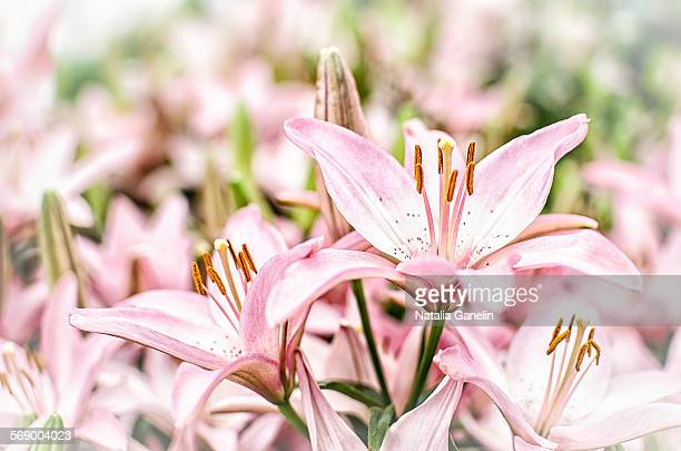 close up of lilium flowers. - easter lily stock pictures, royalty-free photos & images