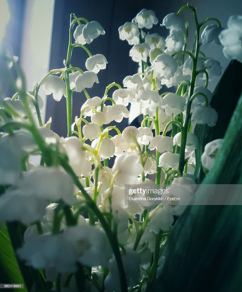 Close up of lily of the valley flowers stock photo getty images close up of lily of the valley flowers izmirmasajfo Choice Image