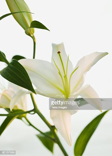 close up of lily - easter lily stock pictures, royalty-free photos & images