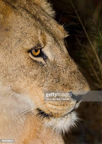 close up of lion, greater kruger national park, south africa  - 自然保護区 ストックフォトと画像