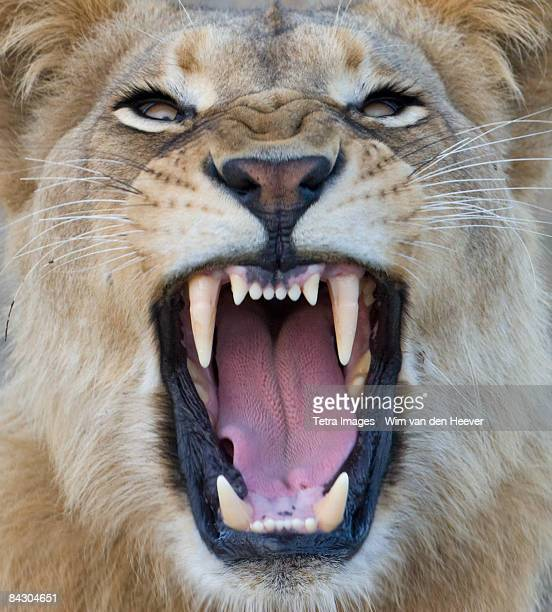 close up of lion growling - lion stockfoto's en -beelden