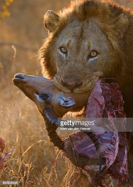 close up of lion holding carcass in mouth - leones cazando fotografías e imágenes de stock