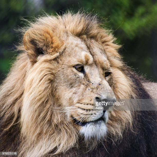 close up of lion in zoo, chester, england, uk - chester zoo stock pictures, royalty-free photos & images