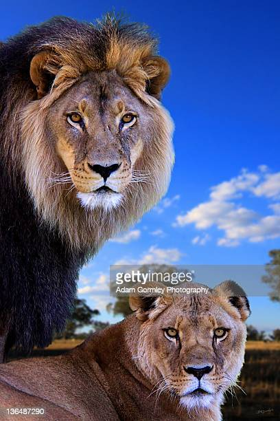 Close up of lions