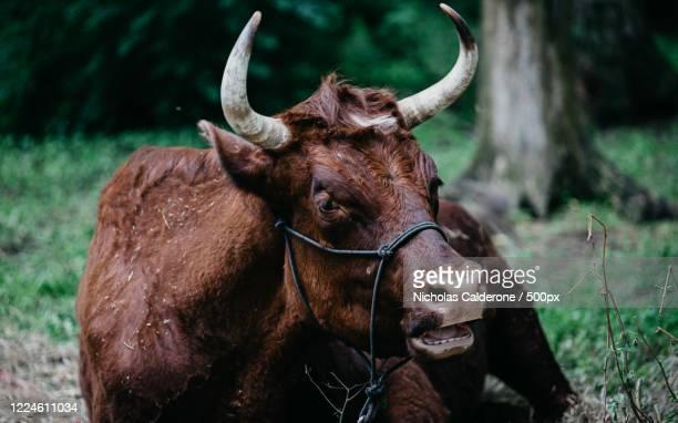 close up of lying brown cow, vincennes, usa - vincennes stockfoto's en -beelden