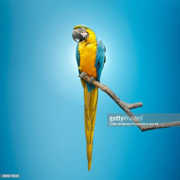 close up of macaw perching on tree branch - perching stock photos and pictures