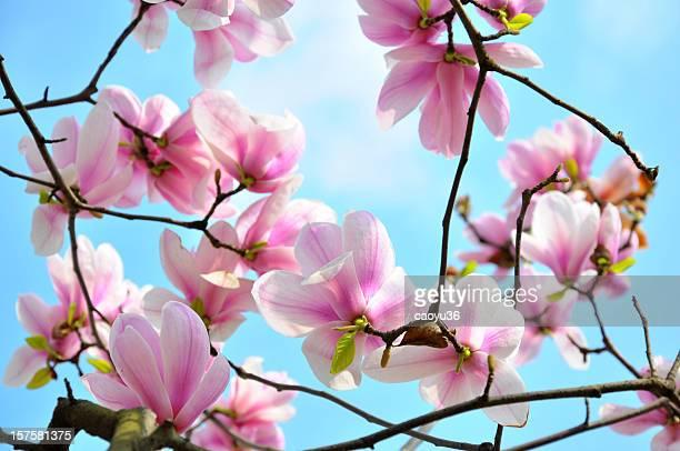 Close up of  Magnolia