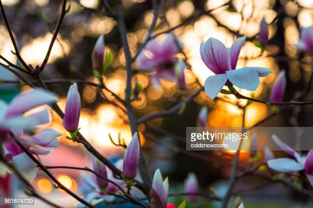 close up of magnolia tree in bloom at sunset - magnolia stock photos and pictures