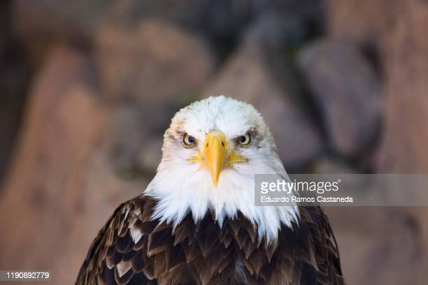 close up of majestic eagle head - beak stock pictures, royalty-free photos & images