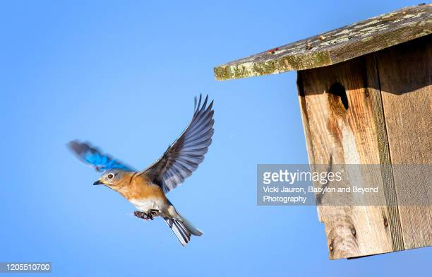 close up of male bluebird in flight against blue sky and birdhouse - warbler stock pictures, royalty-free photos & images