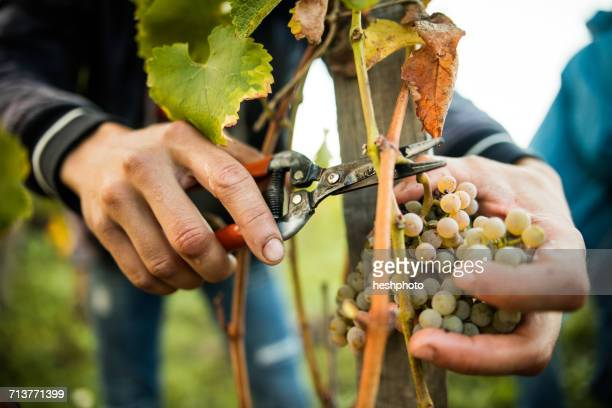 close up of male hands cutting grapes from vine in vineyard - heshphoto stock pictures, royalty-free photos & images
