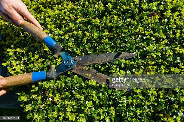close up of male hands trimming hedge with garden shears - pruning shears stock photos and pictures