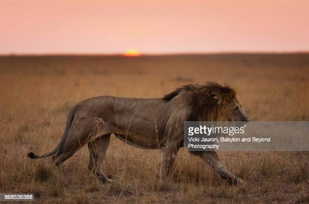 close up of male lion in masai mara at sunrise - animais machos - fotografias e filmes do acervo