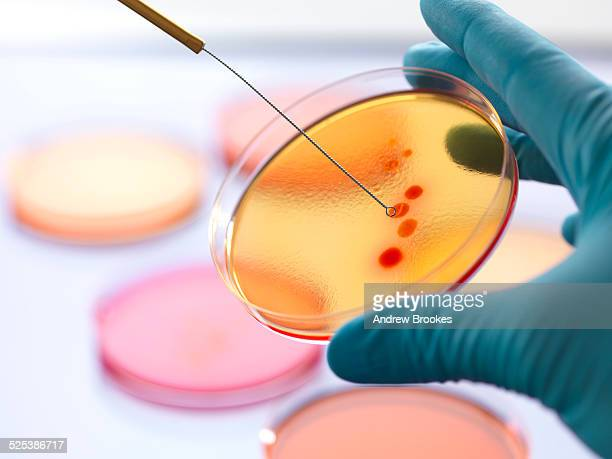 close up of male scientist hand inoculating an agar plates with bacteria in microbiology lab - 微生物学 ストックフォトと画像