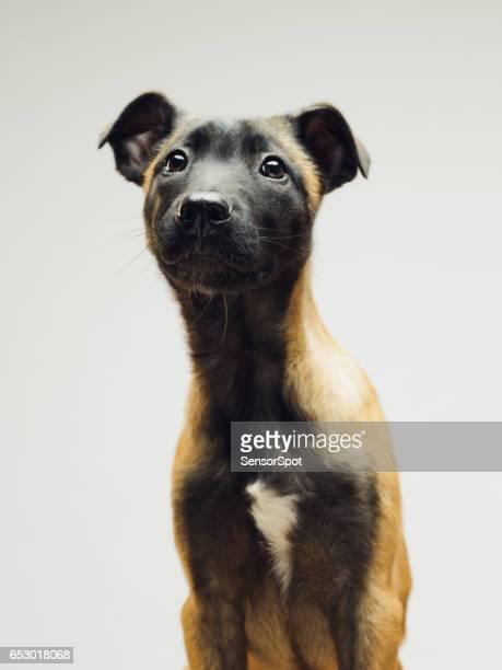 Close up of Malinois Belgian Berger dog