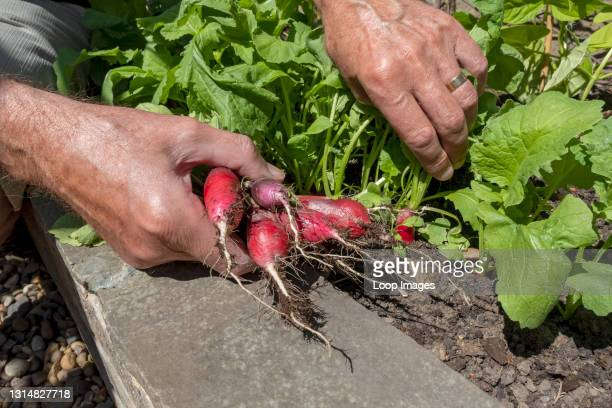Close up of man picking fresh radishes from the garden in summer.