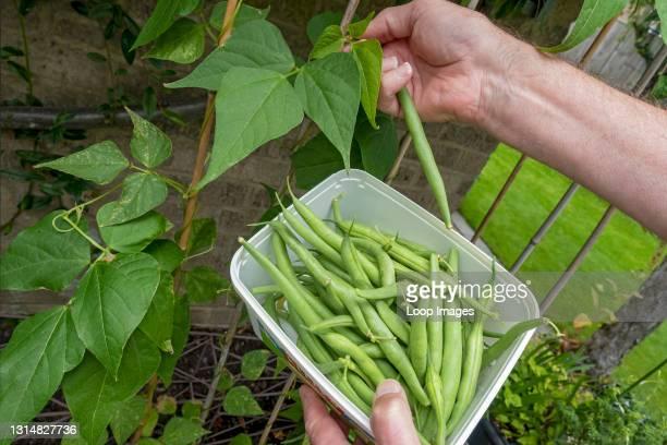 Close up of man picking tender green runner beans in the garden in summer.