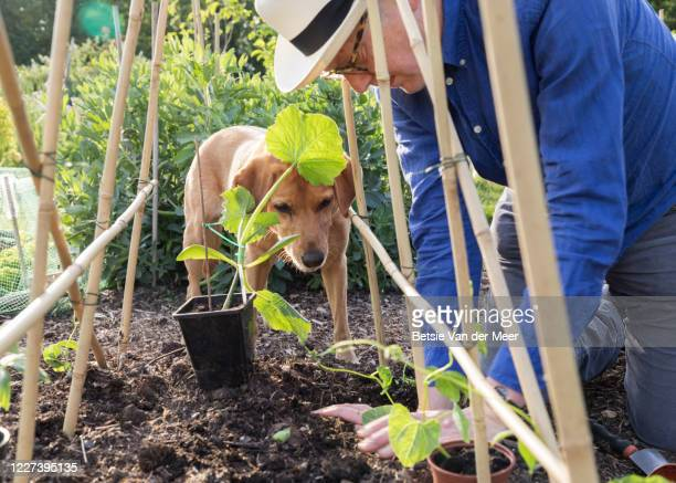 close up of man planting bean and courgette plants while dog looks on. - bohnenranke stock-fotos und bilder