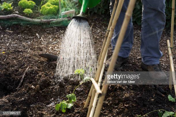close up of man watering seedlings in vegetable garden. - environmentalist stock pictures, royalty-free photos & images