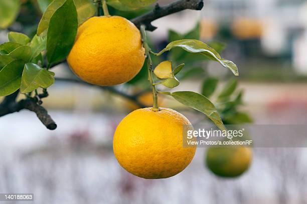 Close Up Of Mandarin