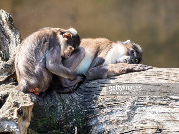 close up of mangabey gray of white crown (cercocebus atys lunulatus), baboon ,animal female with his son sleeping and resting on a trunk - chimpanzee teeth stock pictures, royalty-free photos & images