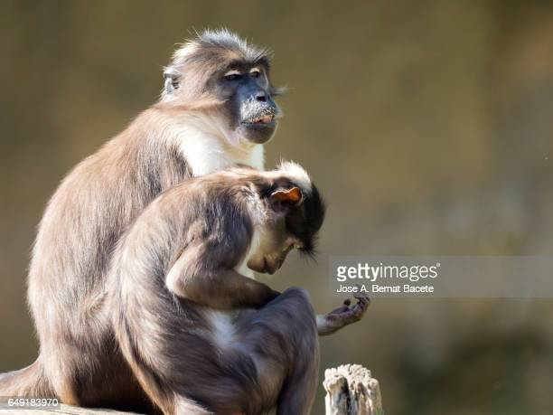 close up of mangabey gray of white crown (cercocebus atys lunulatus), baboon ,animal female with his son sitting on a trunk cleaning - chimpanzee teeth stock pictures, royalty-free photos & images