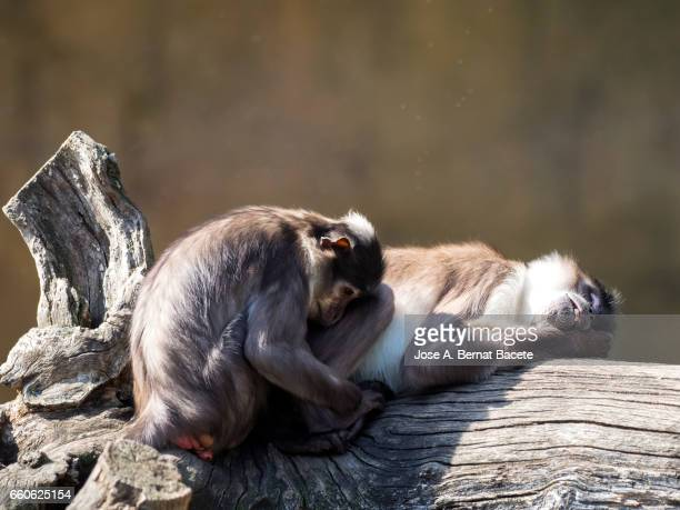 Close up of Mangabey gray of white crown (Cercocebus atys lunulatus), Baboon ,animal female with his son sleeping and resting on a trunk