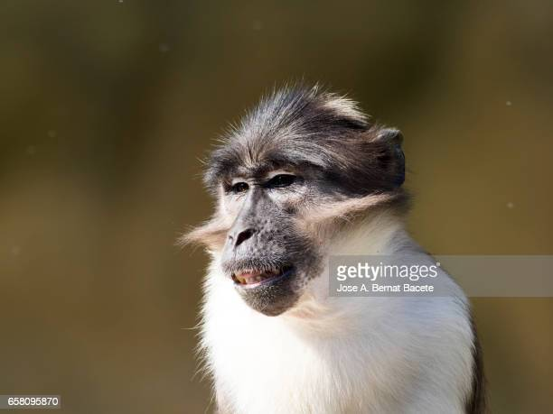 Close up of Mangabey gray of white crown (Cercocebus atys lunulatus) Baboon