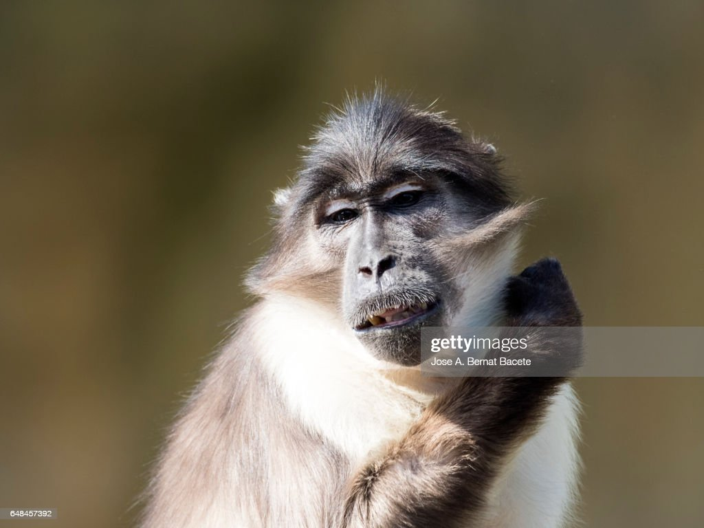 Close Up Of Mangabey Gray White Crown Cercocebus Atys Lunulatus Baboon