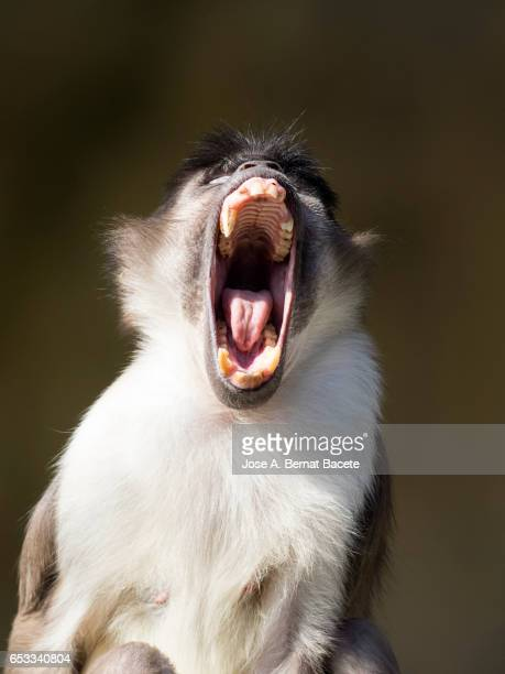close up of mangabey gray of white crown (cercocebus atys lunulatus) baboon, with the opened mouth - chimpanzee teeth stock pictures, royalty-free photos & images