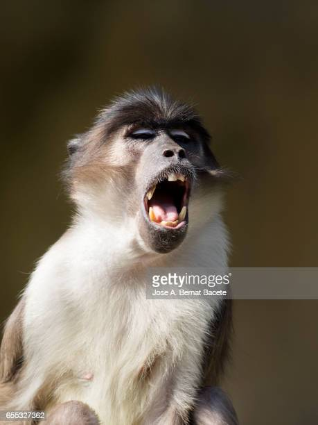 Close up of Mangabey gray of white crown (Cercocebus atys lunulatus) Baboon, with the opened mouth