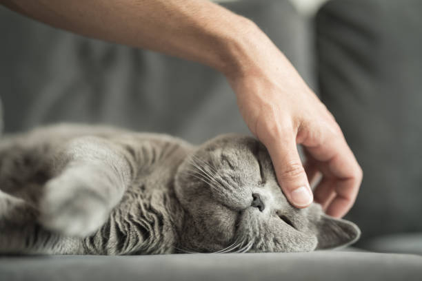close up of man's hand stroking a grey british short hair cat on head while she sleeps - cat stock pictures, royalty-free photos & images