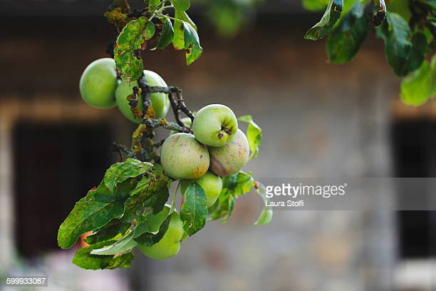 Close up of many green apples on tree branch