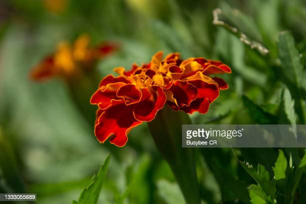 close up of marigold flower and foliage - two tone color stock pictures, royalty-free photos & images