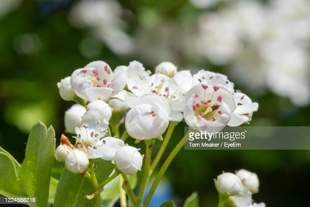 close up of mayflower  blossom - hawthorn,_victoria stock pictures, royalty-free photos & images