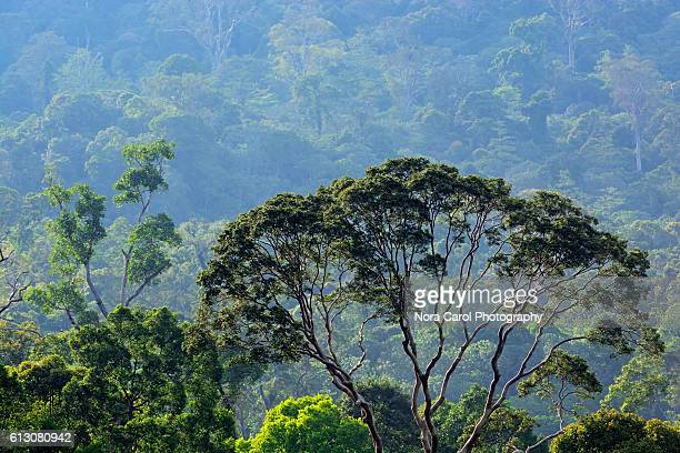 close up of menggaris tree (koompassia excelsa) in danum valley, sabah, borneo. - dipterocarp tree stock pictures, royalty-free photos & images