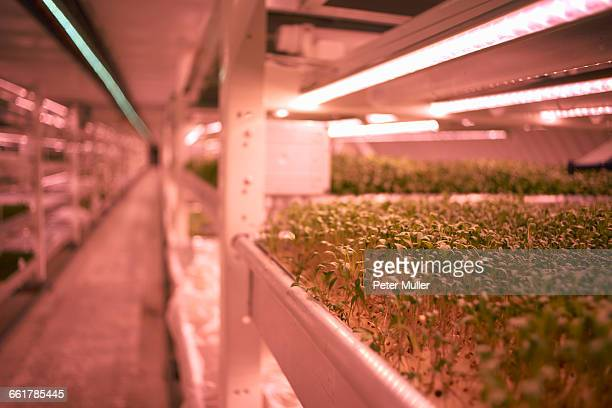 Close up of micro greens tray in underground tunnel nursery, London, UK