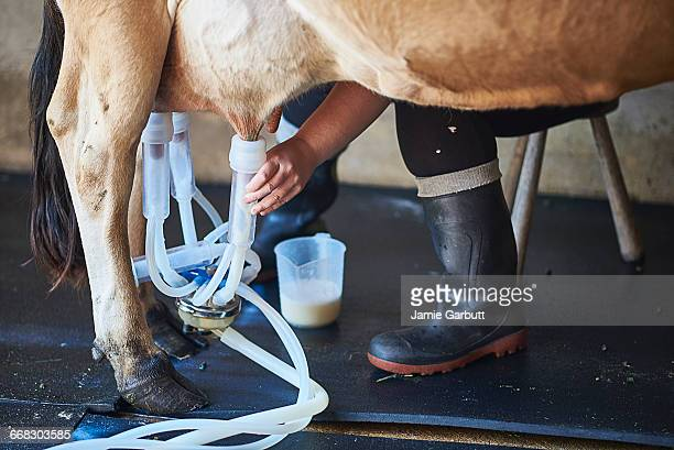 close up of milk maid milking a cow - milking stock pictures, royalty-free photos & images