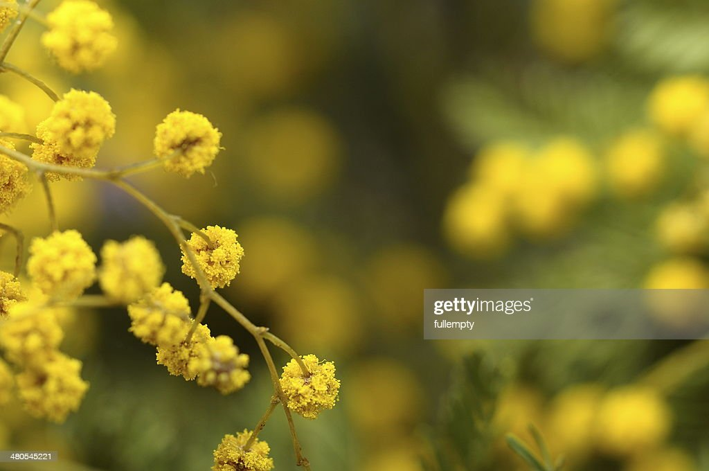 Close up of mimosa flowers : Stock Photo