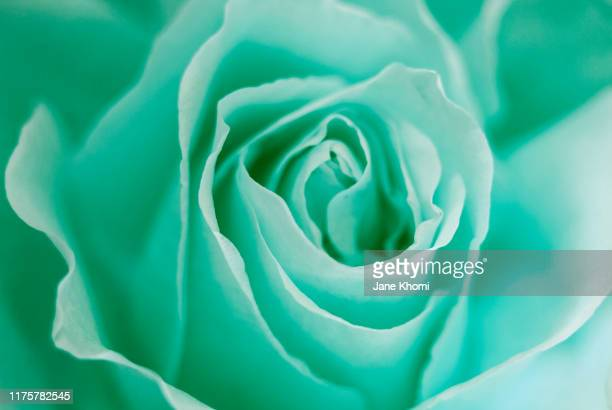 close up of mint rose - mint green stock pictures, royalty-free photos & images