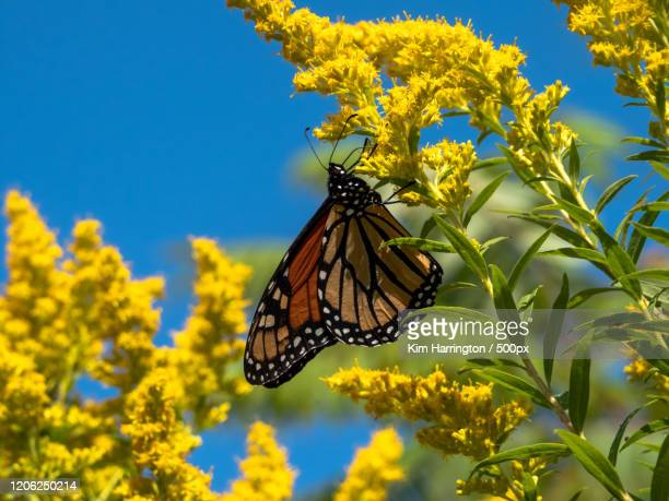 close up of monarch butterflyon goldenrod - goldenrod stock pictures, royalty-free photos & images